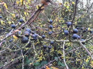 Hawthorn covered in sloes